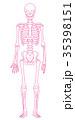 骨格 骨格模型 骨組みのイラスト 35398151
