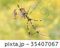 昆虫 蜘蛛 蜘蛛の巣の写真 35407067