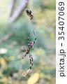 昆虫 蜘蛛 蜘蛛の巣の写真 35407069