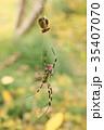 昆虫 蜘蛛 蜘蛛の巣の写真 35407070
