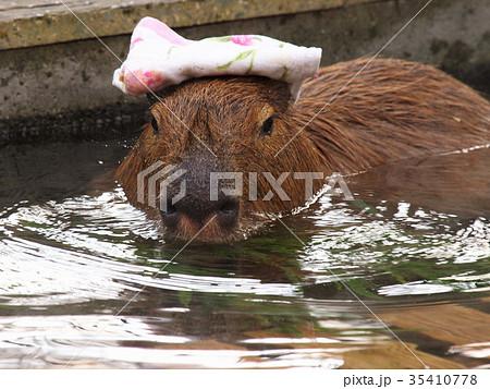 湯手を頭に乗せて温泉で寛ぐカピバラ 35410778