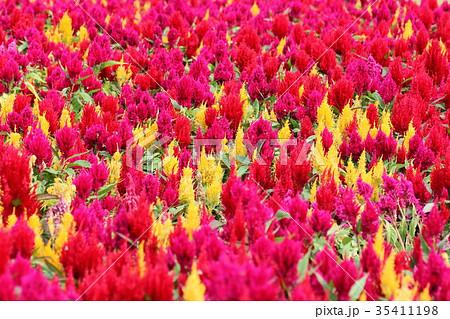 ケイトウ 花 植物 35411198