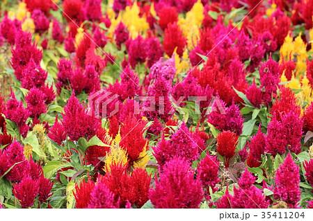 ケイトウ 花 植物 35411204