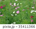 コスモス 秋桜 花の写真 35411366