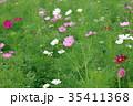 コスモス 秋桜 花の写真 35411368