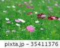 コスモス 秋桜 花の写真 35411376