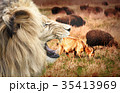 sheep on field with lion 35413969