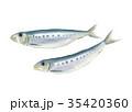 イワシ 魚 魚類のイラスト 35420360