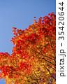 紅葉 エゾオオモミジ 楓の写真 35420644