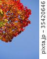 紅葉 エゾオオモミジ 楓の写真 35420646