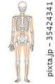 骨格 骨格模型 人体のイラスト 35424341