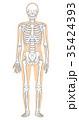 骨格 骨格模型 人体のイラスト 35424393