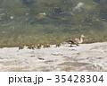 親子 カルガモ 水鳥の写真 35428304