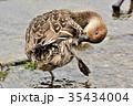 オナガガモ 鴨 野鳥の写真 35434004