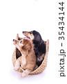 犬 ミニチュアダックス 動物の写真 35434144