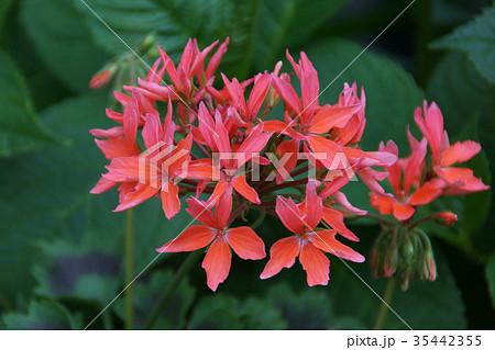 紅葉葉ゼラニウム 花言葉は「真の友情」 35442355