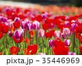 チューリップ チューリップ畑 花の写真 35446969