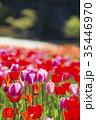 チューリップ チューリップ畑 花の写真 35446970
