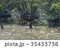 石神井公園三宝寺池のカワウ 35453736