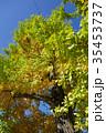 石神井公園のイチョウの木 35453737