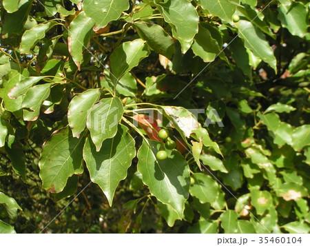 ひょうたん型の小さい実を着けたクスノキの大木 35460104