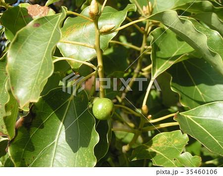 ひょうたん型の小さい実を着けたクスノキの大木 35460106