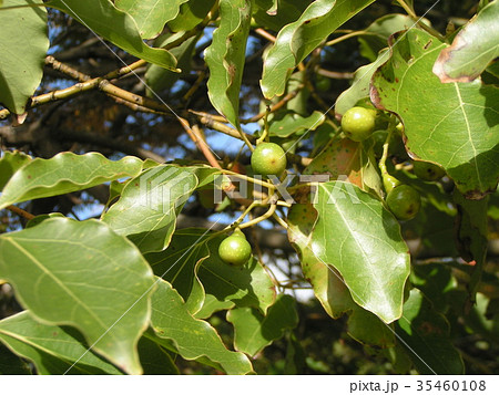 ひょうたん型の小さい実を着けたクスノキの大木 35460108