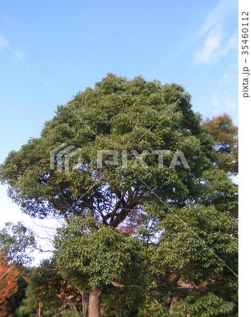 青空にクスノキの大木 35460112