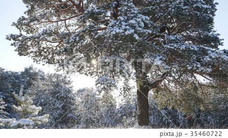 Winter fir forest in the snow in the sun 35460722