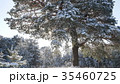 Winter fir forest in the snow in the sun 35460725