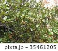 2年がかりで熟するウバメガシのドングリ 35461205