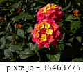 ランタナ 植物 花の写真 35463775