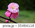 桃の花 桃 花の写真 35464118