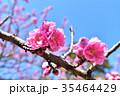 桃の花 桃 花の写真 35464429