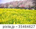 幸手 桜 菜の花の写真 35464627