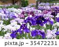 堀切菖蒲園 花菖蒲 花の写真 35472231