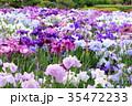堀切菖蒲園 花菖蒲 花の写真 35472233