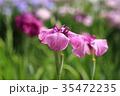 花菖蒲 花 紫の写真 35472235
