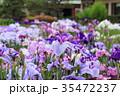 堀切菖蒲園 花菖蒲 花の写真 35472237