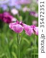 堀切菖蒲園 花菖蒲 花の写真 35472351