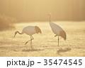 鶴 タンチョウ 朝焼けの写真 35474545