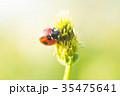 テントウムシ 甲虫 草の写真 35475641
