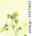 テントウムシ 甲虫 クローズアップの写真 35475642