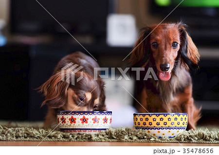 犬 ダックス カニンヘン 小型犬 35478656