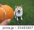 柴犬とボール遊び 35483807