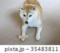オヤツ待ちの柴犬 35483811