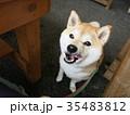 オヤツ待ちの柴犬 35483812