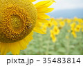 ひまわりとハチ 35483814