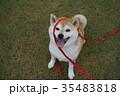 柴犬マコとリード 35483818