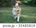柴犬とボール遊び 35483819